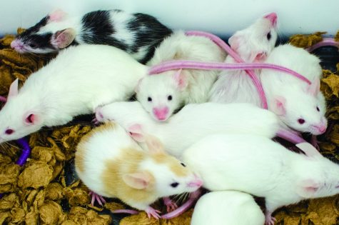 Mice injected with meth to research addiction at UT Health Science Center