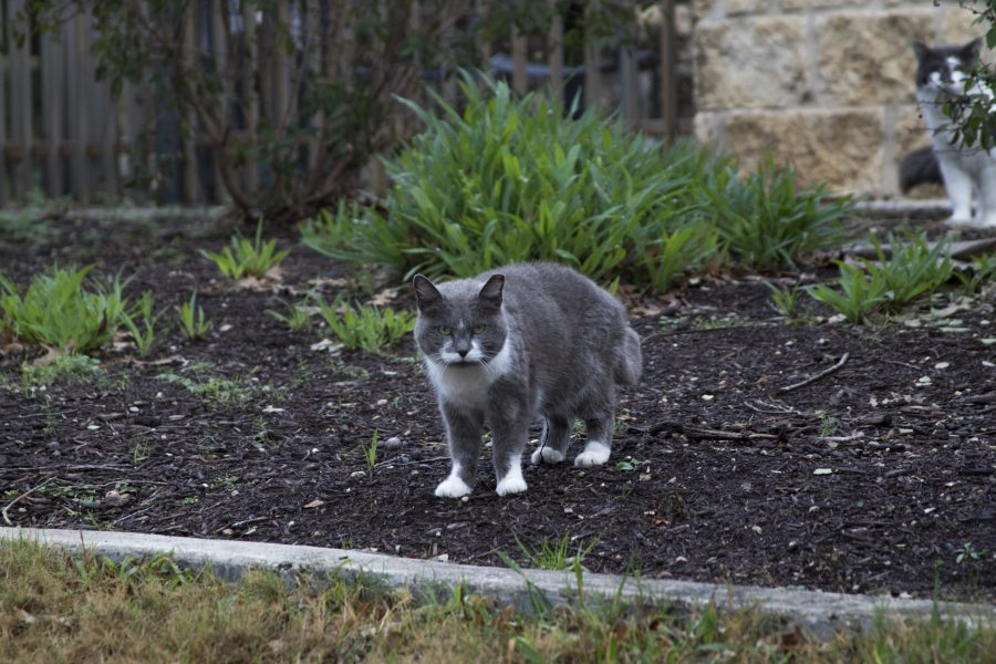 The UTSA Cat Coalition is not a shelter; cats cared for roam freely on campus. Tristan Ipock, The Paisano