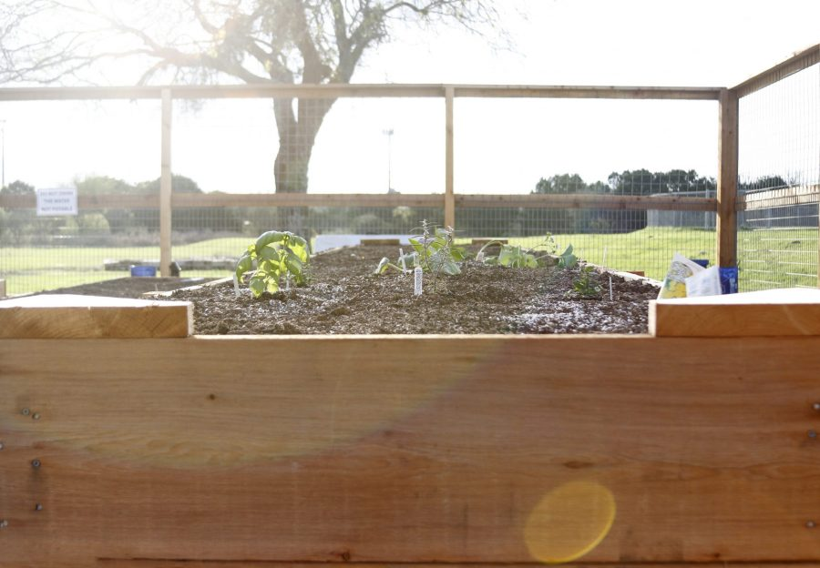 Seedlings began to sprout in the UTSA Community Garden. Tristan Ipock, The Paisano