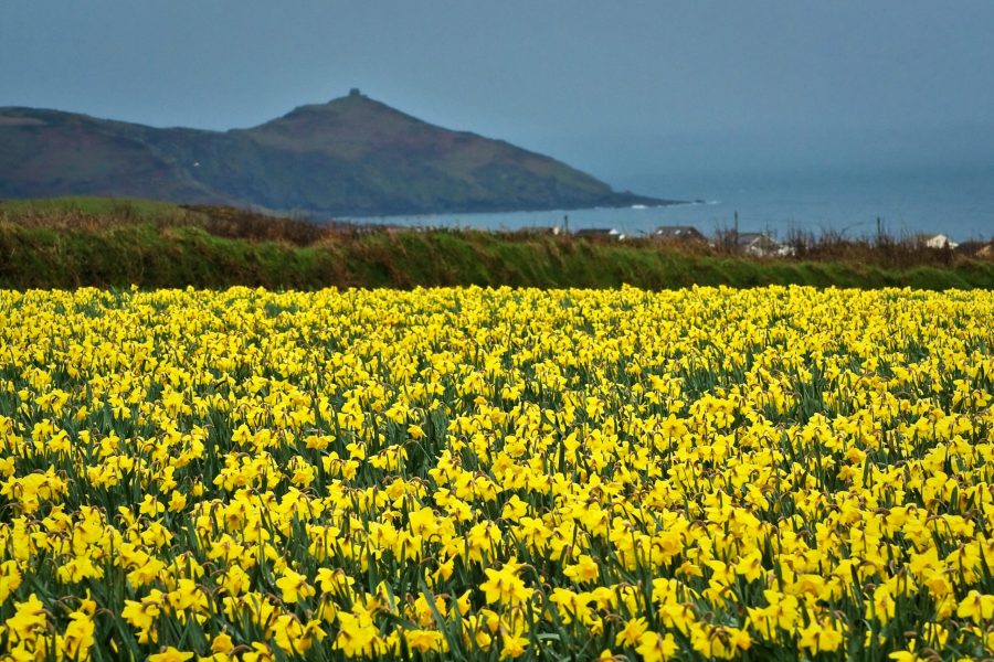 image of a field of daffodils
